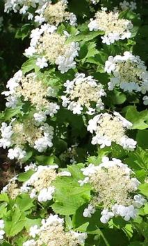 Blooming viburnum branch screenshot 2