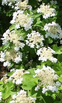 Blooming viburnum branch poster