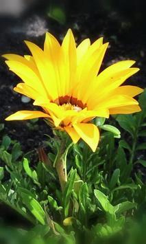 Gorgeous blooming gerbera apk screenshot