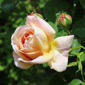 Delightful rose icon