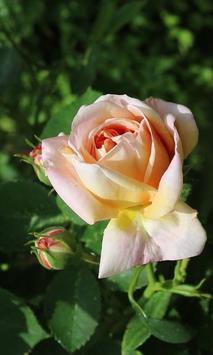Delightful rose poster