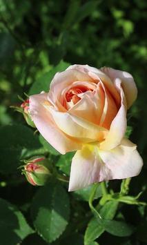 Delightful rose apk screenshot