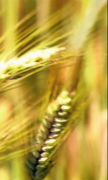 Ear of wheat poster
