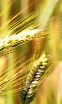 Ear of wheat screenshot 1