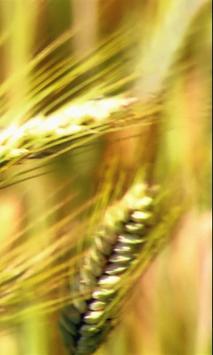 Ear of wheat screenshot 2