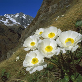 Flower in the mountains icon