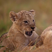 Playful lion cubs icon