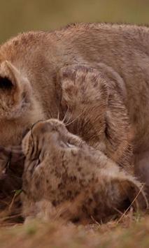 Playful lion cubs apk screenshot