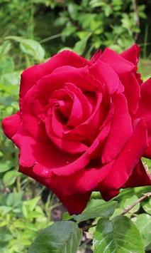 Rose and the drops of rain apk screenshot
