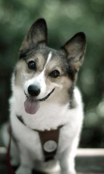 Cutey Dog Wallpaper HD apk screenshot