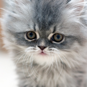 Best Cats and KittensThemes icon