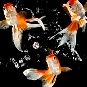 Gold Fish Wallpapers icon