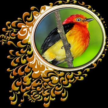Aves do Brasil - Uirapuru poster