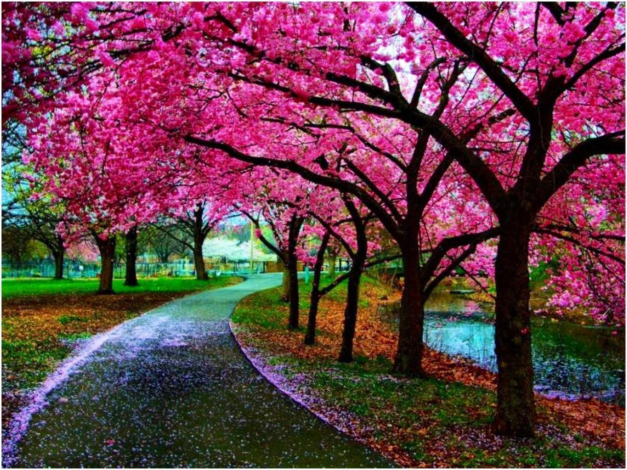 Sakura Flowers Wallpaper For Android Apk Download