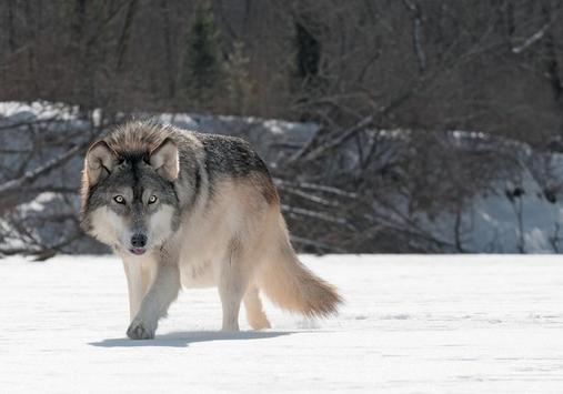 Vicious Wolf Puzzles screenshot 1