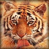 Tiger Licking Screen HD icon