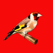 Goldfinch song icon