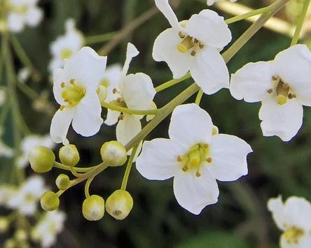 Crambe Cordifolia Wallpapers apk screenshot