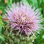 Cynara Scolymus Wallpapers icon