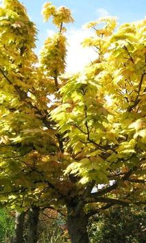 Acer Pseudoplatanus Wallpapers poster
