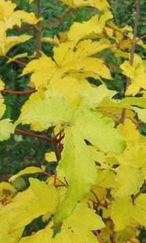 Acer Pseudoplatanus Wallpapers apk screenshot