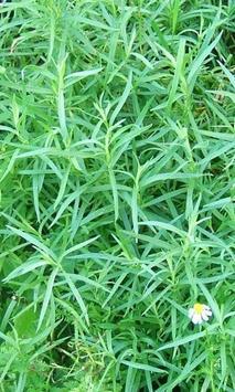 Artemisia Dracunculu Wallpaper screenshot 1