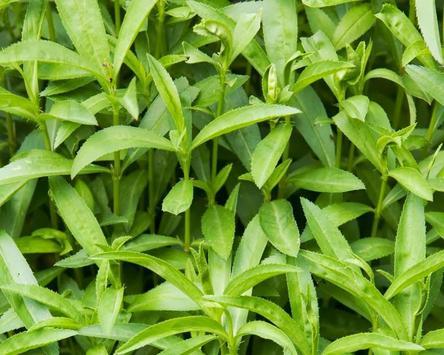 Artemisia Dracunculu Wallpaper screenshot 3