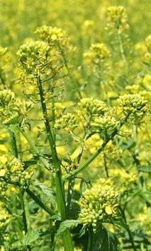 Brassica Juncea Wallpapers apk screenshot