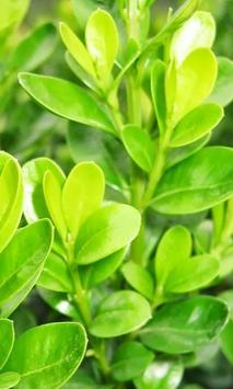 Buxus Wallpapers poster