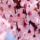 Cherry-Blossom icon