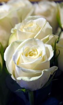 White Roses Wallpapers screenshot 3