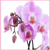 Flower Orchids Wallpapers icon