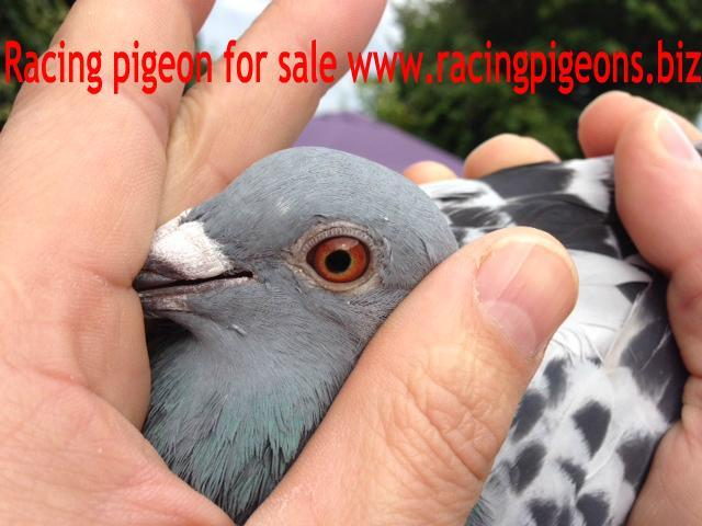 Racing Pigeon for Android - APK Download