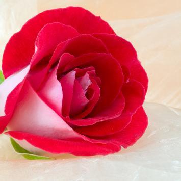 Valentines Day Flower apk screenshot