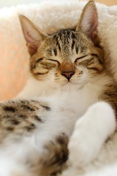 Sleeping Cat Wallpapers apk screenshot
