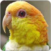Caique Bird Sounds : Caique Parrot Talking icon