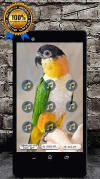 Caique Bird Sounds : Caique Parrot Talking poster