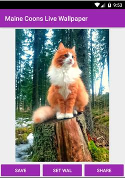 Maine Coon Wallpaper poster