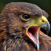 wallpaper hawk icon