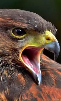 wallpaper hawk poster