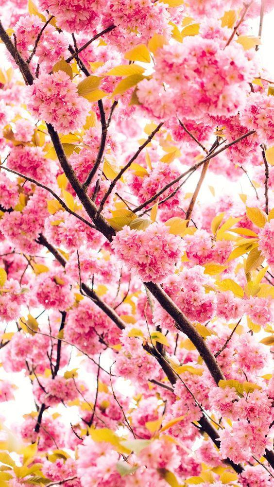 Japanese Cherry Tree Wallpaper For Android Apk Download