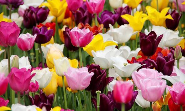 Beautiful Tulips apk screenshot