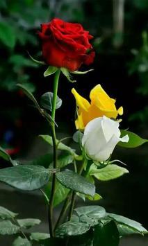Roses screenshot 3