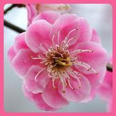 Sakura Flower Wallpaper HD icon