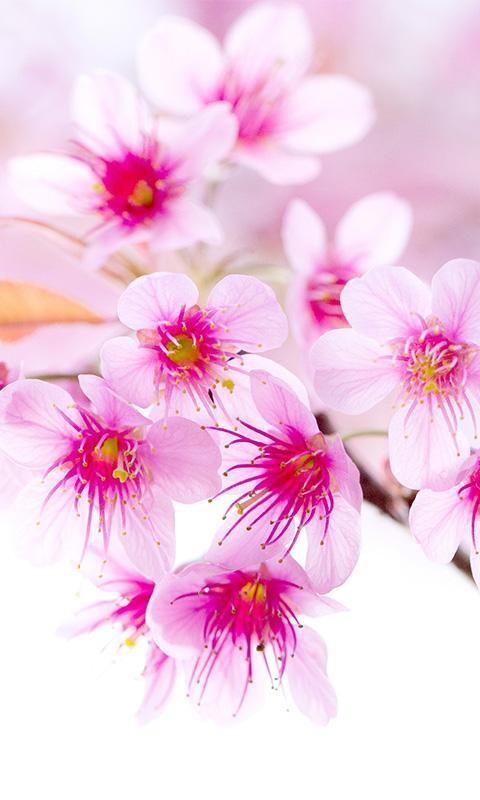 Sakura Flower Wallpaper Hd For Android Apk Download