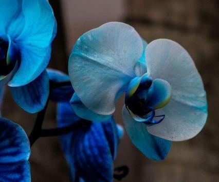 Orchid Flower Wallpaper apk screenshot