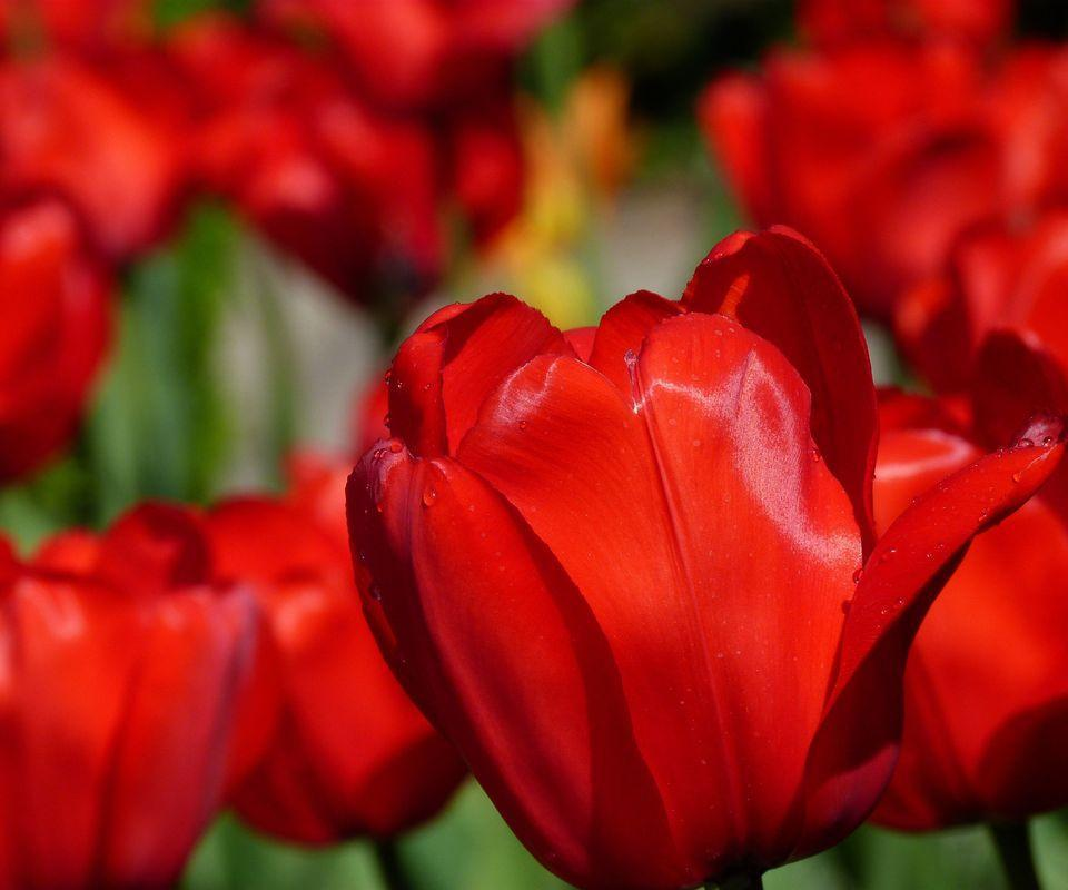 Tulip Flower Wallpaper For Android Apk Download