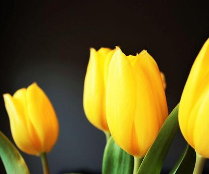 Tulip Flower Wallpaper poster