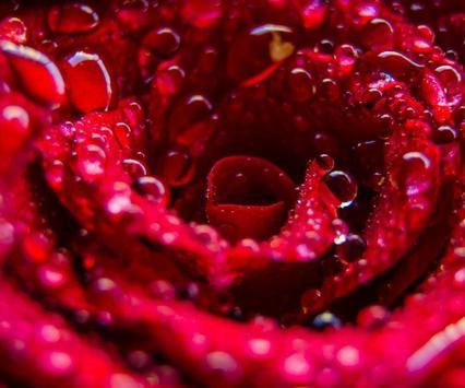 Rose Wallpaper HD apk screenshot