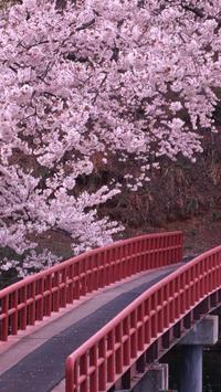 Sakura Wallpaper HD apk screenshot